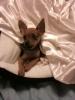 Chihuahua, 1 Year, Tan