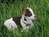 Chihuahua, 5 months, white, mocha, tan