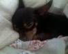 Chihuahua, 16 months, tri