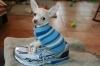 Chihuahua, 12 weeks, Creme & White SC