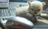 Chihuahua, 8 weeks, Creme
