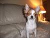 Chihuahua, 1, tri