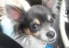 Chihuahua, 1, Black&White