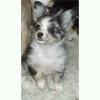 Chihuahua, 11 months, Blue Merle