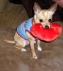 Chihuahua, 10 Months, Tan