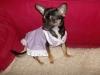 Chihuahua, 3, tricolour