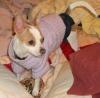 Chihuahua, 1, Fawn