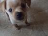 Chihuahua, 3  months, Brown