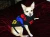 Chihuahua, 9 yrs, fawn/white