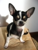 Chihuahua, 3 1/2, tricolor, black, white and brown