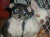 Chihuahua, 5 months, Black Tri & White