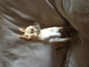 Chihuahua, 4, Cream