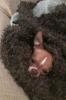 Chihuahua, 16 mo, brown