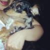 Chihuahua, 10mnths, chiwienie black white tan