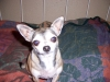 Chihuahua, 8, fawn