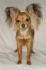 Chihuahua, 2, tan