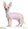 Chihuahua, 1, Cream