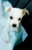 Chihuahua, 7 weeks, White and tan
