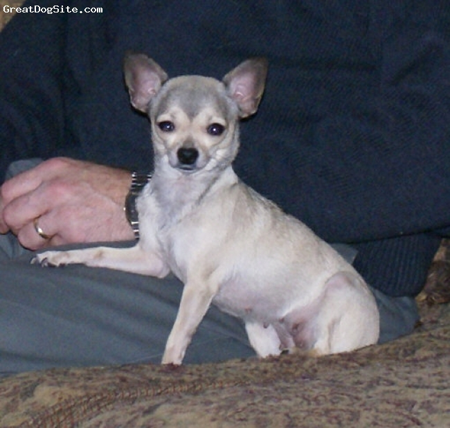 Chihuahua, 2 years, blue and fawn, This is Salsa. Our female Chihuahua.