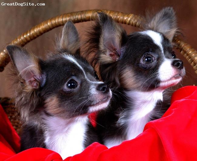 Chihuahua, 11 months, Black Tri-color, Long Coat Black Tri-color pups.  AKC registered.