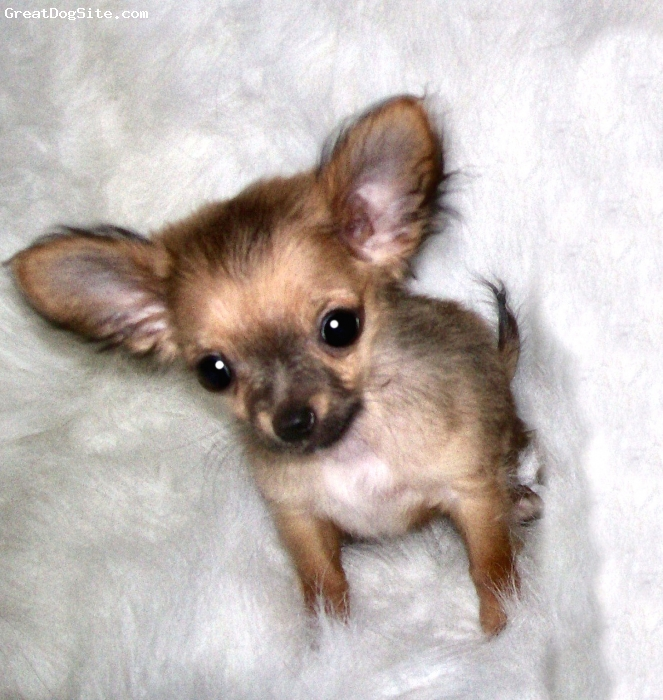Chihuahua, 4 months, Fawn sable, Tiny female named goldie. 2 lbs. Great temperament