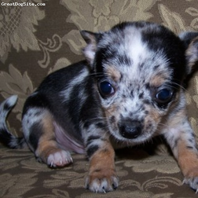Chihuahua, puppy, Black Merle, Beautiful Merle no Great Dane here these are special and beautiful in color love the long coats and smooth this little man is adorable full of life and should be treated like a king!  He will be four pounds