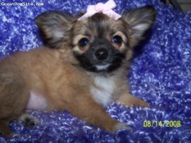 Chihuahua, pup, Sable, Long coat beauty