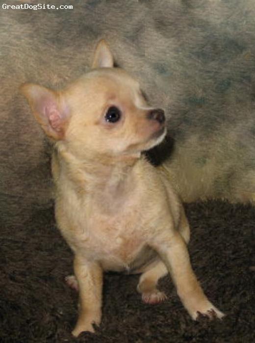 Chihuahua, 14 weeks, Fawn,