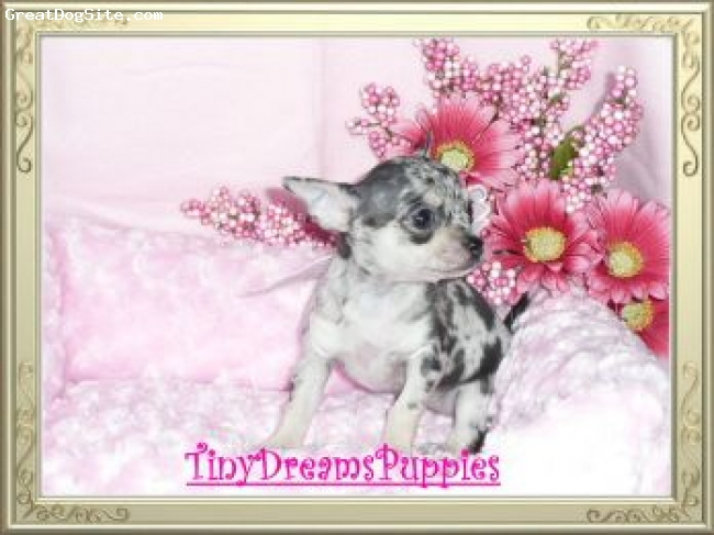 Chihuahua, 6 weeks old, Merle, This is a beautiful example of a Merle girl. I just had to share with those of you that haven't seen a Merle