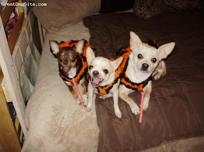 Chihuahua, 11 months, fawn and chocolate, Ready for Halloween!