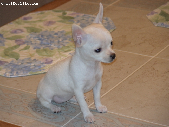 """Chihuahua, 5 Months, Cream and White, A perfect reason why Outwestpuppies in Phoenix should be the nation's premier breeder of Chihuahuas. This is THE sweetest, most loving Chihuahua I have EVER seen, although, she's """"ferocious"""" when she play-fights with her boyfriend - Pepino."""