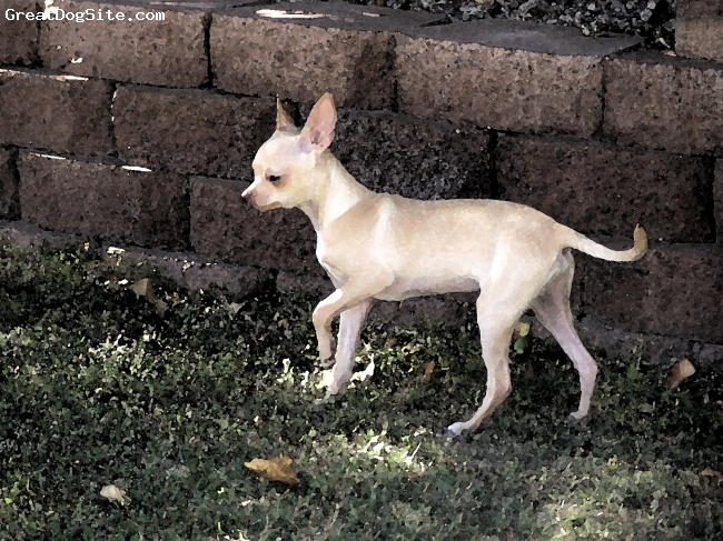Chihuahua, 6 Months, Fawn And White, This is a long-legged, Deer type Chihuahua. Pepino is ALL boy, and loves to play, run, explore and play-fight with his girlfriend, Penelope A.K.A. Penny. He jumps up like Tigger: Boink, boink, boink!!!! A true lover.