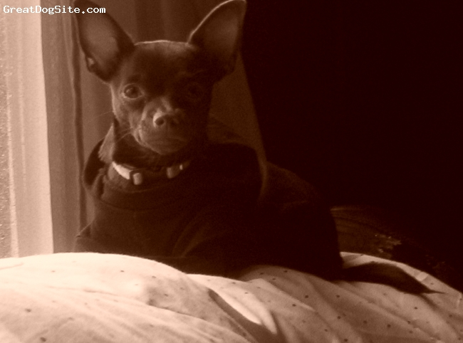 Chihuahua, 9 months, chocolate, Mischa is the love of our life, playful,cute and a very smart little one.