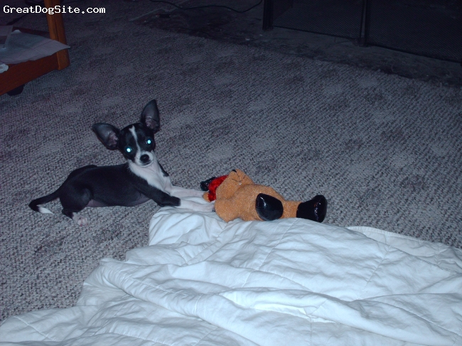 Chihuahua, 19 weeks, blk/wht, daisy is hyper talkative and very much like a baby always wanting to cuddle