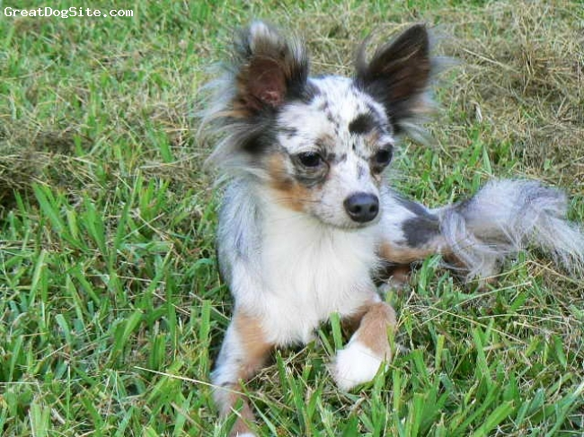 Chihuahua, 1.5yrs, Blue Merle, he is a beautiful example of a Long Hair Blue Merle, and he came from 2 Short hair parents. He such a sweet & loving boy. Loves everyone and every animal he seens & meets.