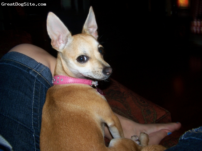 Chihuahua, 1 year, Lght Brown, Loving and very playful