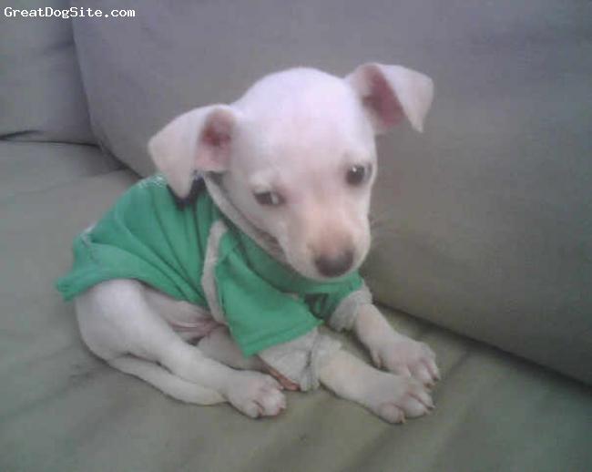 Chihuahua, 7 weeks, white, mack the chihuahua