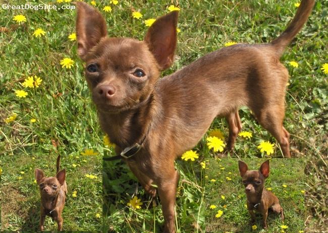Chihuahua, 11months, brown, she is a 2.9lb hyper little girl
