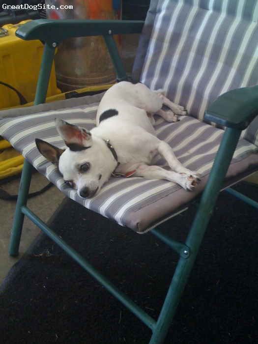Chihuahua, 9, White, Great Lil' Buddy, Hanging out in the garage on his favorite chair!