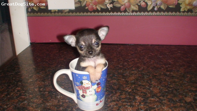 Chihuahua, 4 Months, Black with tan and white markings, KC is a toy chihuahua.
