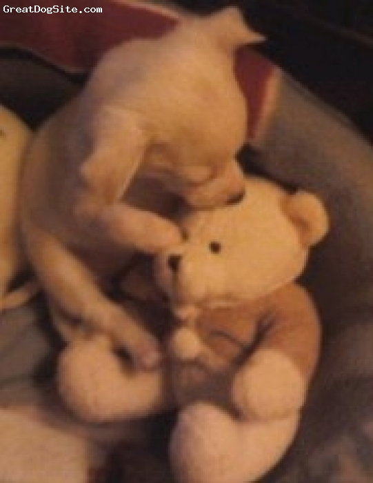Chihuahua, 8weeks, multi, Snuggling her Bear
