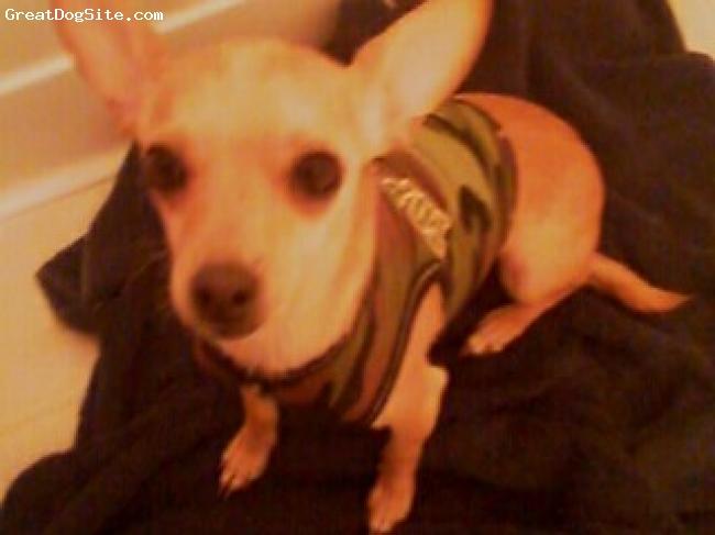 Chihuahua, 4 years, tan, small and cute