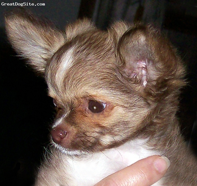 """Chihuahua, 4 months, Chocolate/tan/sable, Leslie's Lil Mateo at Wynhaven """"Tater""""  is a wonderfully sweet little boy. He is a UKC champion and only needs a major to finish his AKC championship. All of this done from a 1 yr old baby."""