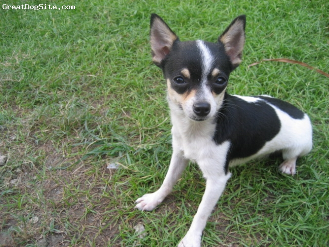 Chihuahua, 1yr old, white w/ black markings, shes so active yet so cute....i love the way she...i love my chihuahua...she barks everytime she sees me...