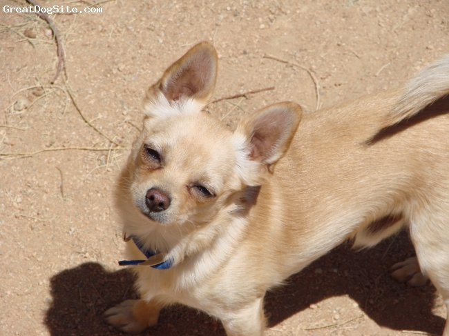 Chihuahua, 3 years old, blond, Beautiful