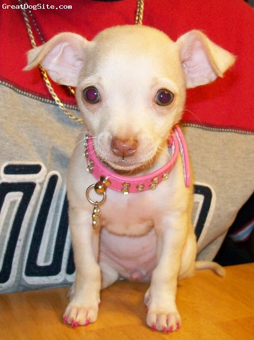 Chihuahua, 2 month old, light beige, she is very playfull,loving....she love's to play with our 2 year old PitBull Female Isis.