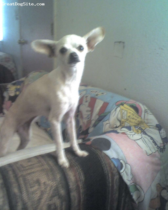 Chihuahua, 10 months, mixed, she is so active and her lehs get in her way sometimes