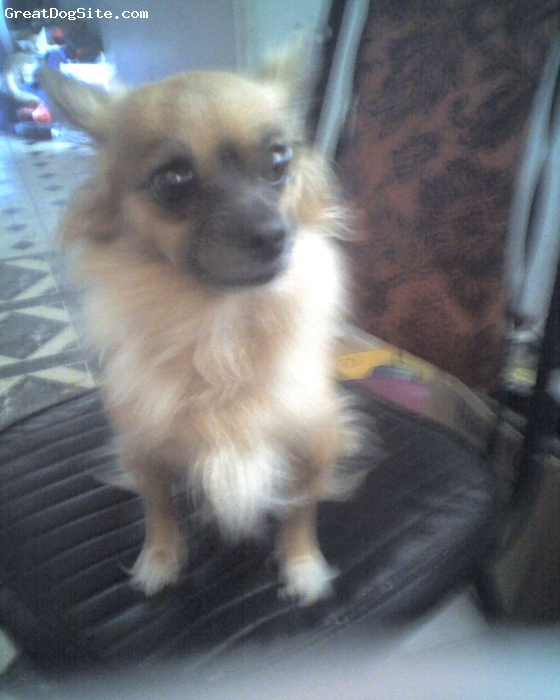 Chihuahua, 10 months, mixed, this is brats mentor little she is 5 and they are my two buddies , she is going to have babies in june so brat will have [lat mates
