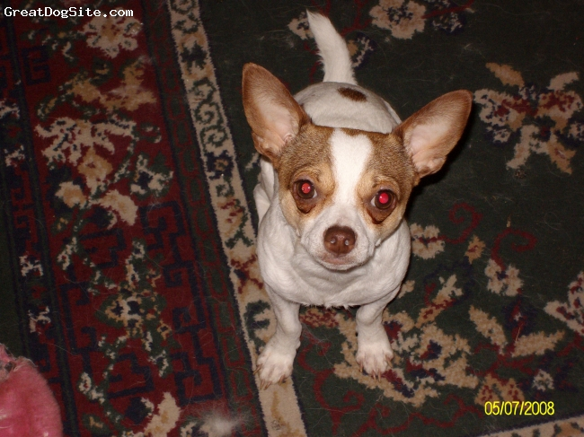 Chihuahua, 2yrs, Whte/Tan, Sabaka is a terror. He is a spitfire bitter. But he can also luv like no other. He weighs 8lbs