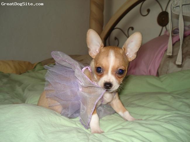 Chihuahua, 10 weeks, Multi, Girls just wanna have fun!